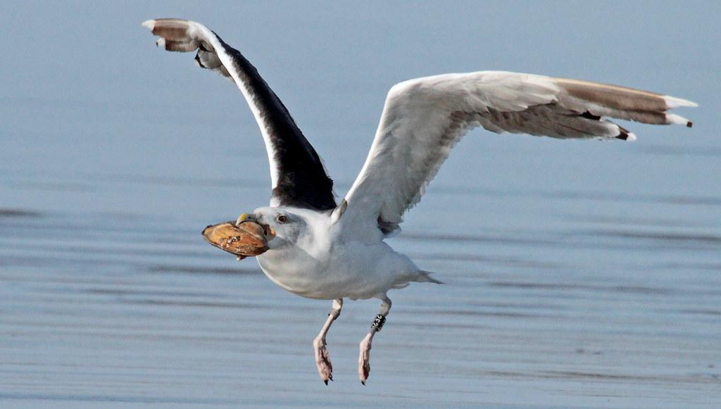 Great Black-backed Gull 2E2