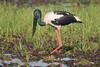 Female Black-necked Stork Ephippiorhynchus asiaticus by arthurgrosset