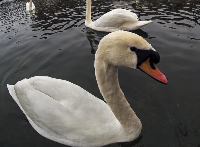 Dublin Swan fish-eye