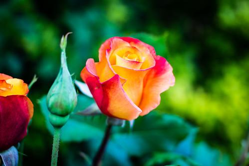 Rose   by Ryan Grove