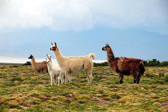 Llamas, towards Parque Nacional Volcán Isluga, Chile