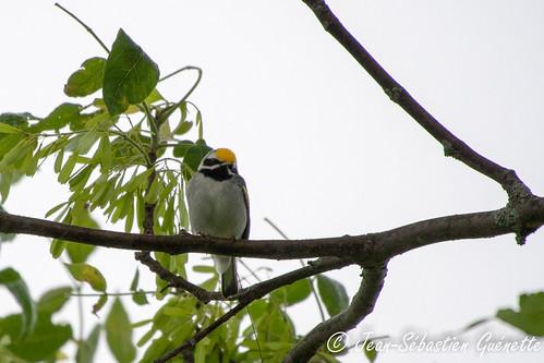 canada bird wildlife birding québec ornithology birdwatching oiseau faune godmanchester ornithologie goldenwingedwarbler parulineàailesdorées