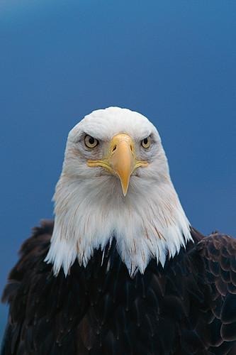 Wildlife in British Columbia, Canada: Bald Eagle