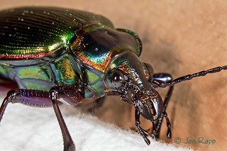Beetle - Fiery Searcher Calosoma scrutator 2c (edit) | by MO FunGuy