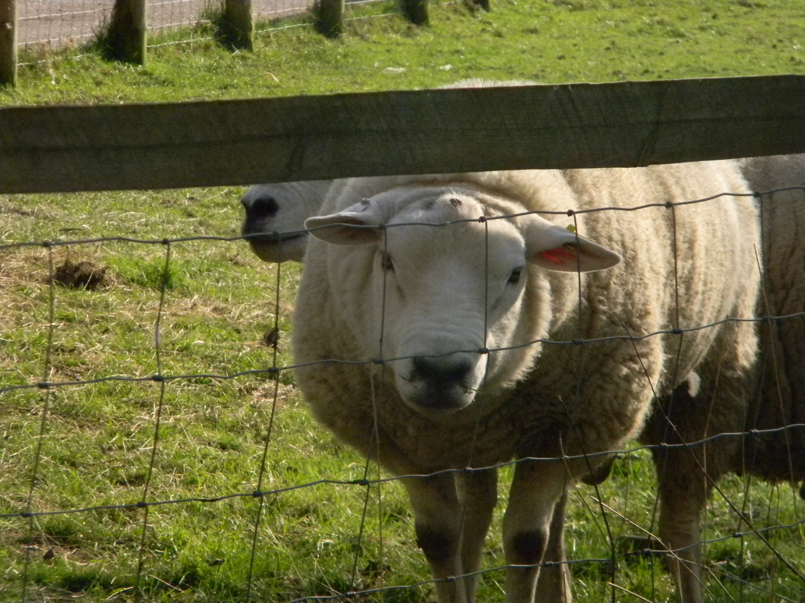 Sheep Haddenham to Aylesbury