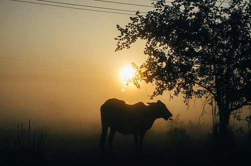 morning winter food sun fog breakfast digital dawn cow nikon cattle foggy dhaka bangladesh banasree dhakadivision aftabnagar sheikhshahriarahmed