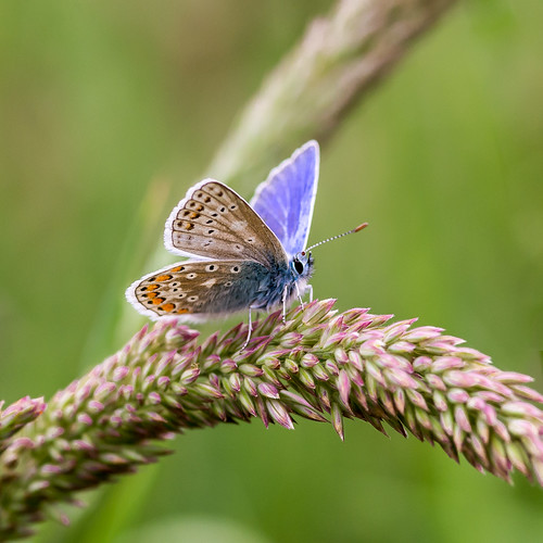 blue ireland wild macro male nature grass closeup butterfly insect nikon wildlife 100mm tokina common westmeath d610