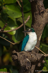 Collared Kingfisher