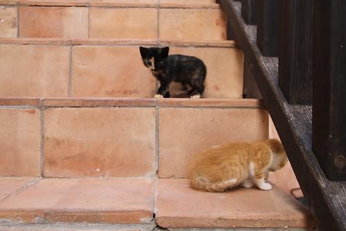 gato negro - gato blanco