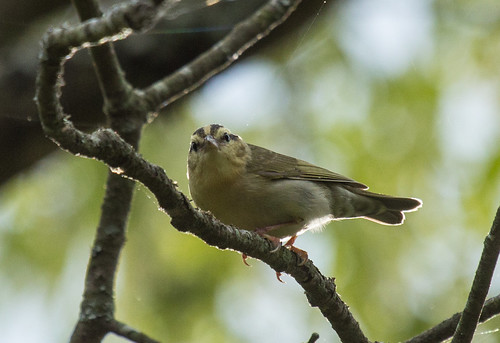 Worm-eating Warbler | by Laura Erickson