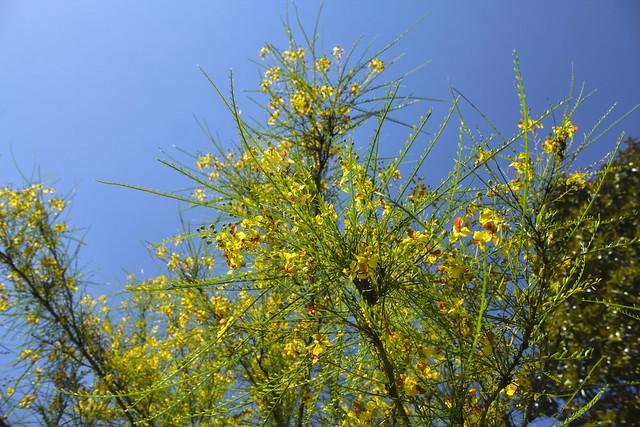 Cytisus scoparius, Magnolia Plantation and Gardens, Charleston County, South Carolina