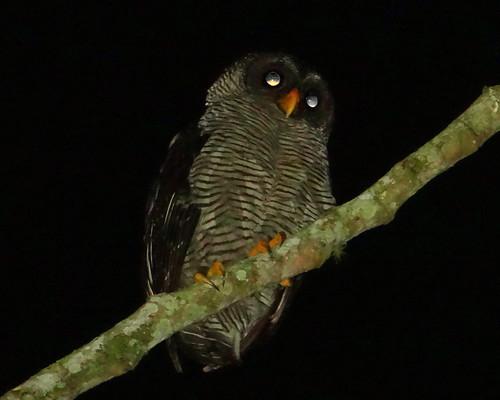 Lechuza Blanca y Negra [Black-and-white Owl] (Ciccaba nigrolineata) | by barloventomagico
