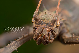 Stick Insect (Haaniella sp.) - DSC_6713   by nickybay