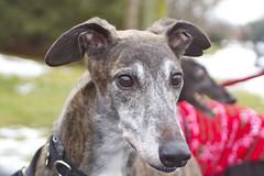 Greyhound Adventures at Cushing Park, Framingham MA, Dec 22nd 2013