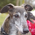 Greyhound Adventures at Cushing Park, Framingham MA, Dec 22nd 2013