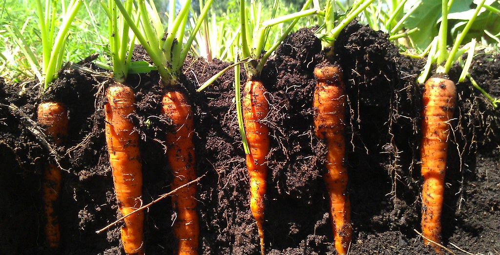 Carrots in the ground ...