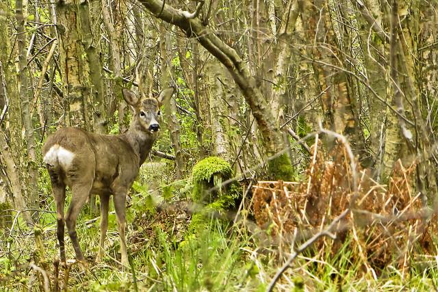 Roe Deer [Explored]