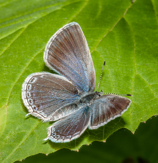 Female Western Tailed Blue - Cupido amyntula (Lycaenidae, Polyommatinae, Polyommatini) 111p-5494