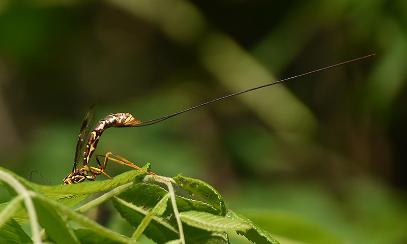 Showing ovipositor and back section of a Giant Ichneumon Wasp.
