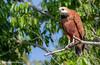 Busarellus nigricollis / Gavilán de Ciénega / Black-collared Hawk by Fotografías de Naturaleza