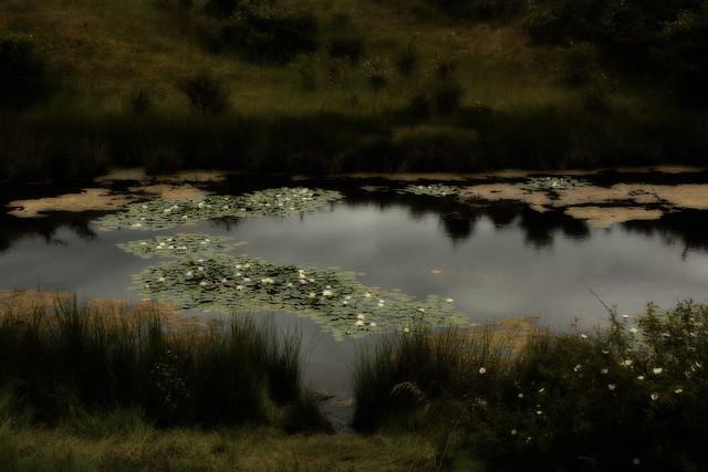 Ninfeas - Nenúfares - Nénuphars - Lily pads - Las Médulas.  LEÓN, Spain