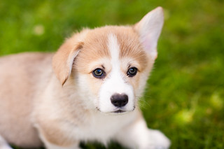Corgi Puppies in July   by evocateur