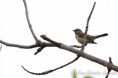 canada bird wildlife birding québec ornithology birdwatching oiseau faune americanredstart godmanchester ornithologie parulineflamboyante