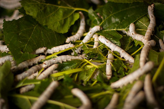 Silk worms | by StevenLao