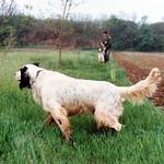 CEROX - In ferma su coppia di starne, in campo di tipica erbetta della Serbia.
