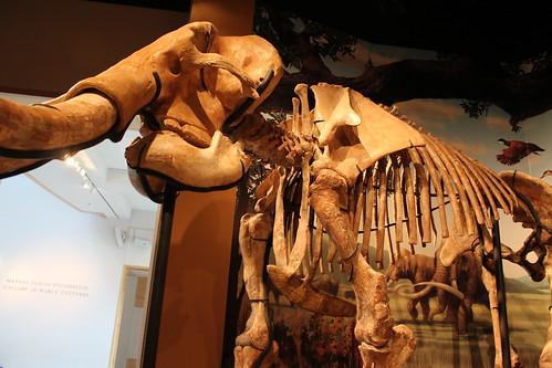 columbianmammoth samnobleoklahomamuseumofnaturalhistory