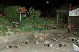 Badger Badger .. Badger Moon Cat Shed