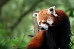Red Panda Pensive | by kennbarr