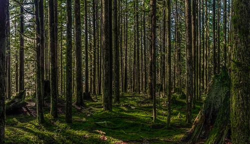 ca panorama canada forest lightandshadows britishcolumbia pano forestfloor mapleridge lightroom photoshopelements martinsmith goldenearsprovincialpark spireanaturetrail 5shotpano nikond7000 ©martinsmith nikkor1855mmf3556gvrii