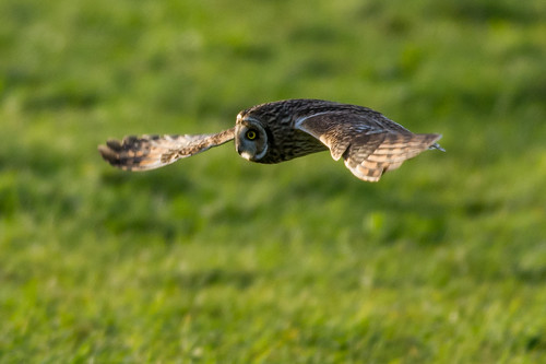 Short Eared Owl Saint Mary's Whitley Bay | by skirgey