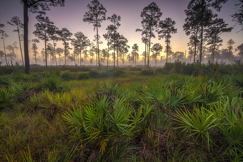 park white grass pine sunrise saw open state florida tail deer highland dew hammock sebring canopy hdr palmetto savanna longleaf