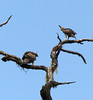Mountain Hawk-Eagle juv and adult by upperwinskill