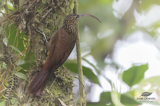 Brown-billed Scythebill | by Jorge Obando Gutierrez