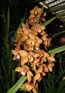 photographed at the 2017 pacific orchid & garden exposition, Cymbidium Mighty Sunset 'Roxburgh Red' hybrid orchid 2-17* | by nolehace