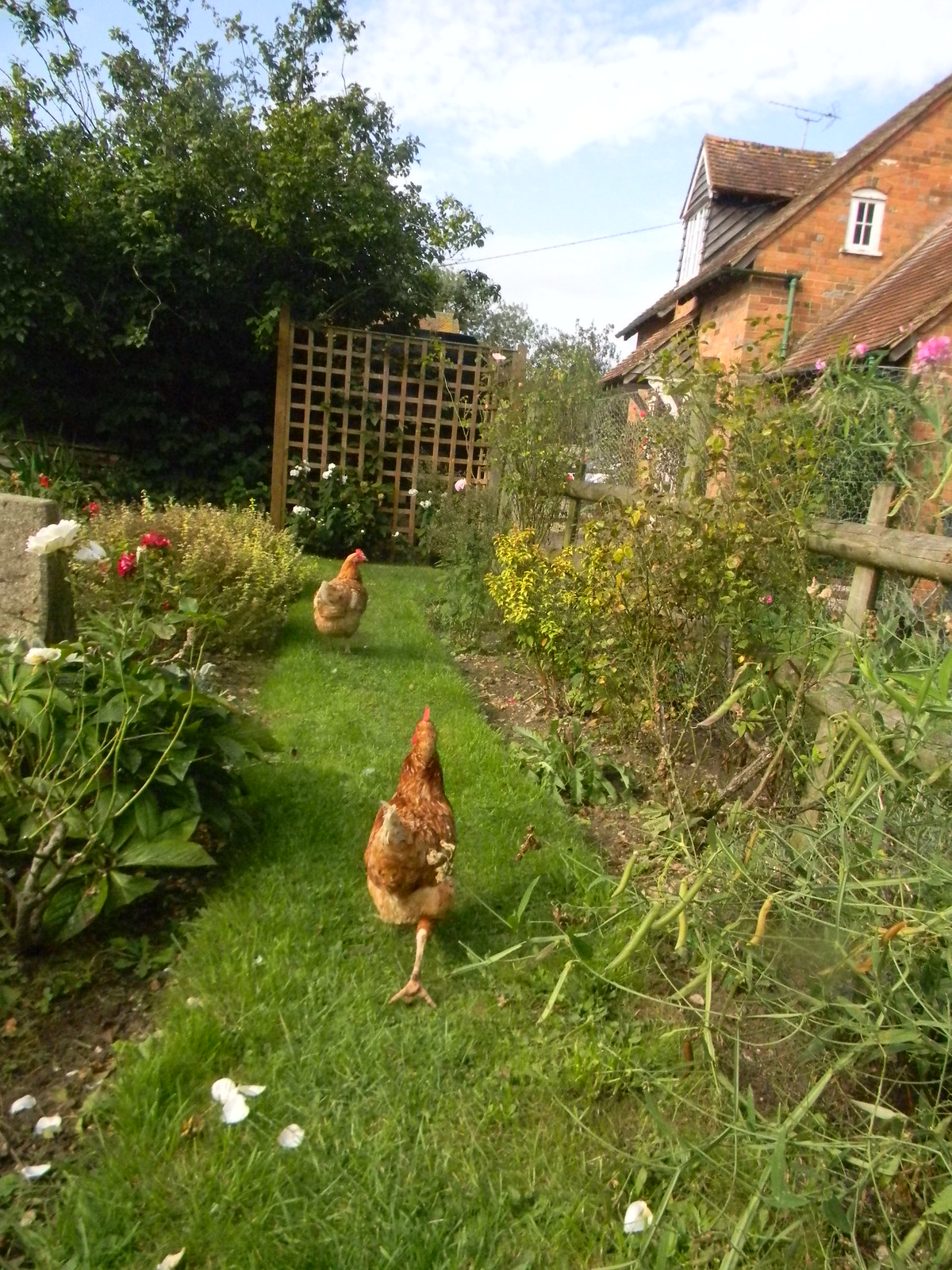 Chickens in the pub garden Goring Circular The Bell, Aldworth