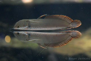 Silver arowana and Surface Reflection | by Bri_J