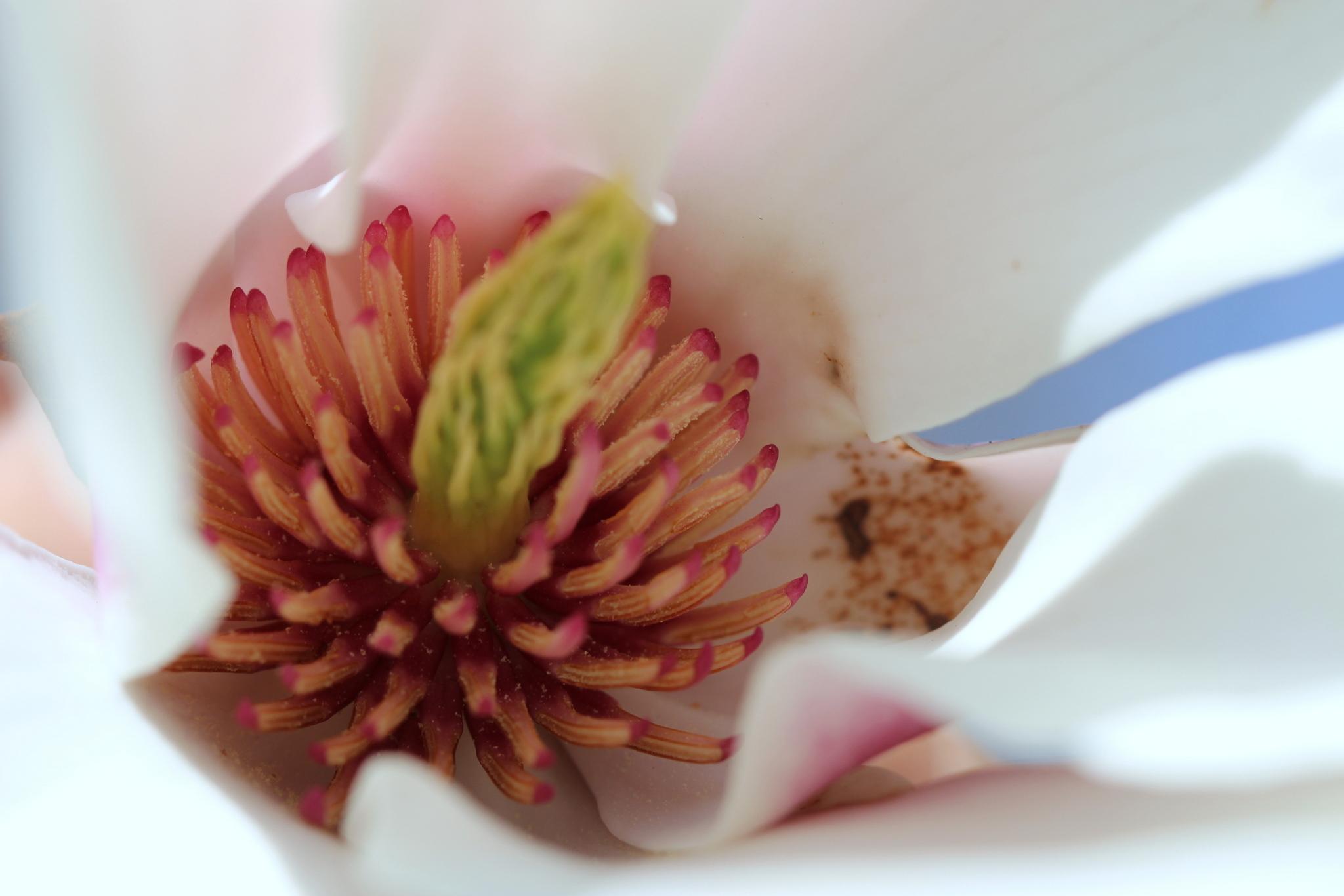 Innenleben einer Magnolie