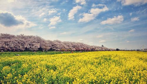 travel flowers blue sky japan clouds spring leslie taylor sakura cherryblossoms saitama ragweed iphone satte iphoneography lestaylorphoto