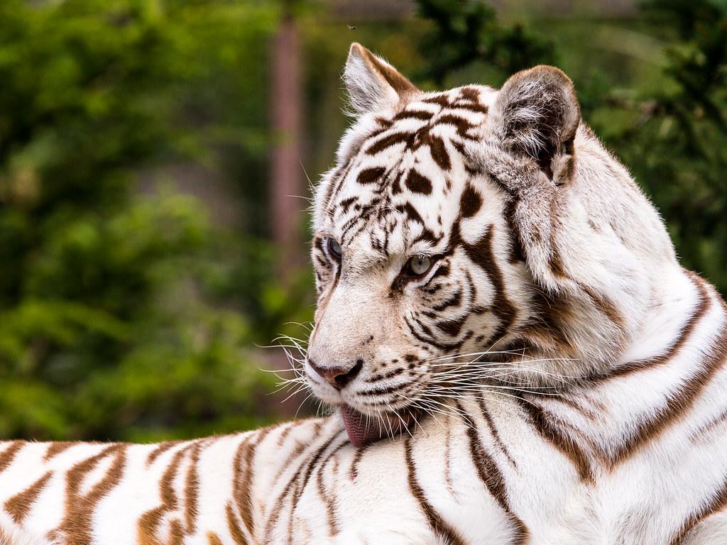 White tiger licking his skin | John van Beers | Flickr