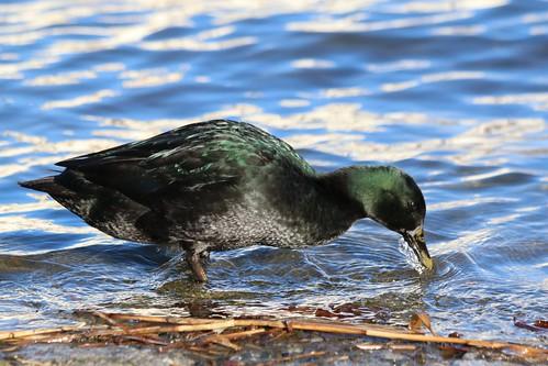 Canard du Labrador - canard Emeraude : IMG_4707