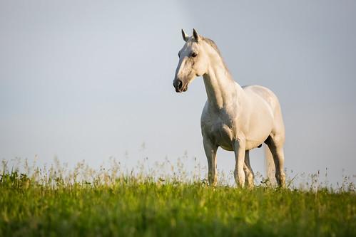horse us illinois spring unitedstates equestrian lipizzan oldmillcreek lipizzans tempelfarms lipizzanstallion thetempellippzans