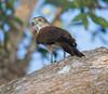 Brown Goshawk (Accipiter fasciatus) (50 centimetres).01 by Geoff Whalan