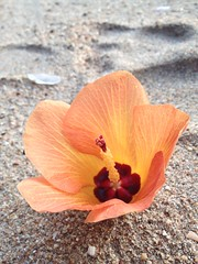 These flowers fall from trees all over the beach