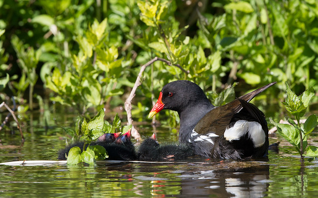 Moorhen and chicks