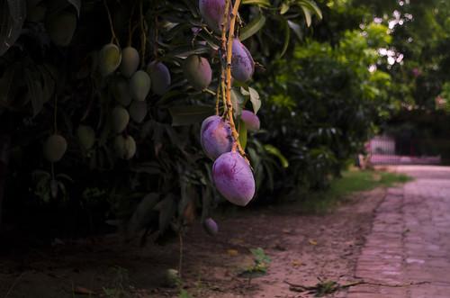 pakistan sunset green purple hometown mango farms 1855mm punjab sensation mangotrees muzaffargarh nikond5100