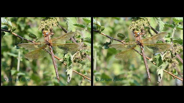 Brown Hawker Dragonfly - 3d crossview